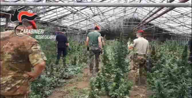 Rinvenute 12mila piante di canapa