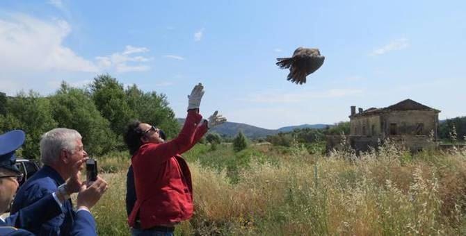 Falco liberato nel Cosentino