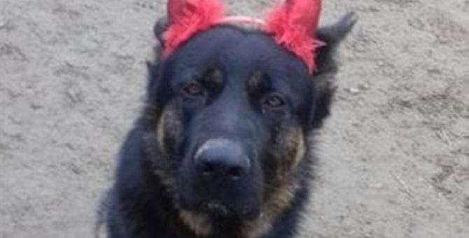 Il cane kuma in una foto del maneggio