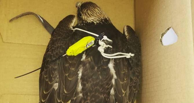 L'esemplare di falco soccorso nel Cosentino
