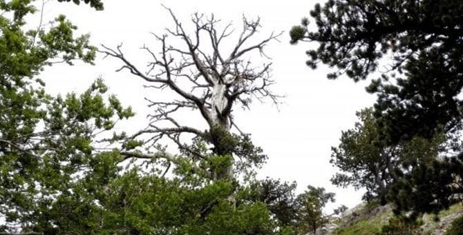 Italus, l'albero più antico d'Europa