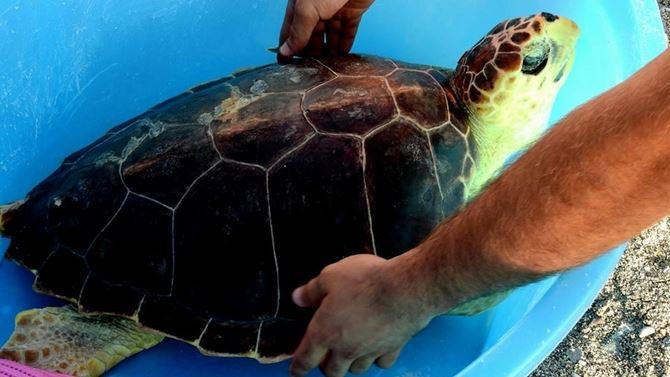Un momento del rilascio della tartaruga Mara