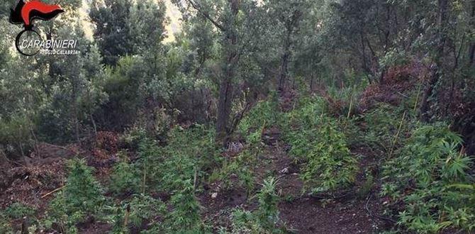 La piantagione di canapa indiana scoperta a Careri